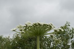 Poisonous plant cow parsnip Sosnowski Stock Photography