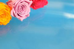 Roses in a blue background Royalty Free Stock Photos