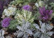 Purple and White ornamental Kale, and other Kale in Dallas, Texas. Pictured are several purple and several white ornamental Kale mixed in with other Kale in a Royalty Free Stock Photo