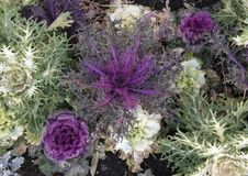 Purple and White ornamental Kale, and other Kale in Dallas, Texas. Pictured are several purple and several white ornamental Kale mixed in with other Kale in a Royalty Free Stock Images