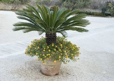Short Palm in a clay pot with yellow lantana stock image