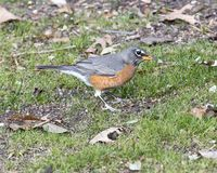 Side view of a female American robin standing in grass in Dallas, Texas. Pictured is a side view of a female American robin standing in grass in Dallas, Texas Royalty Free Stock Photos