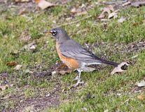Side view of a female American robin standing in grass in Dallas, Texas. Pictured is a side view of a female American robin standing in grass in Dallas, Texas Stock Photos