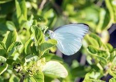 The white butterfly, Ascia monuste Royalty Free Stock Photo