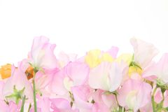 Sweetpea  in a white background. Pictured  sweetpea  in a white background Stock Photo