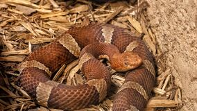 Trans-Pecos Copperhead at Rattlers & Reptiles, a small museum in Fort Davis, Texas, owned by Buzz Ross.