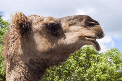 Pictureof a camel's head. Side picture of an adult camel's head with trees and sky in the background Royalty Free Stock Photos
