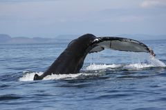 Humpback whale tail in the San Juan Islands royalty free stock images