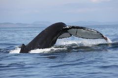 Humpback whale tail in the San Juan Islands Stock Image