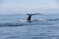 Humpback whale tail in the San Juan Islands Royalty Free Stock Photography