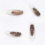 Pictures of cicada insect 4 style,isolated on white background.  Royalty Free Stock Images