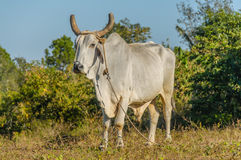 Pictures of Cuba - Cuban Farm Animals Stock Images