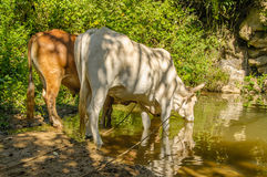 Pictures of Cuba - Cuban Farm Animals Stock Photo