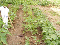 Pictures of green bean plant in the garden Stock Photos