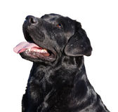 Pictures of Labrador black dog closeup with open mouth Royalty Free Stock Photo