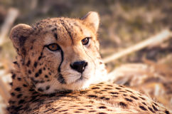 A pictures of a leopard head Stock Image
