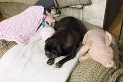 black pug named adelheid royalty free stock photo