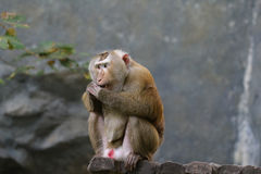 Pictures of monkeys at a zoo in Thailand,Asia. Royalty Free Stock Images