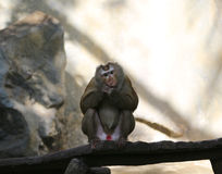 Pictures of monkeys at a zoo in Thailand,Asia. Royalty Free Stock Photo