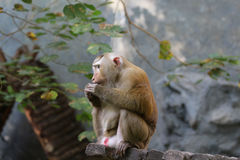 Pictures of monkeys at a zoo in Thailand,Asia. Royalty Free Stock Photography