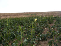 Pictures of okra plant on the field for commercials of fruit producers. 2 Stock Image