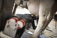 Cows in a stable. Pictures from a open stable with cows eating and a automatic milking machine Stock Images