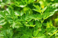 Pictures of parsley on the field Stock Photo