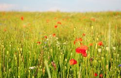 Pictures of poppies flowers. Blooming red poppies  flowers with wildflowers meadow. Poppy Perennial Flowers Stock Photo