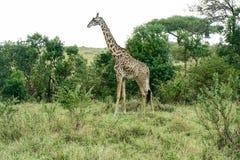 Giraffes in the Savannah Safari in Kenya Royalty Free Stock Images