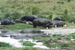 Hippos in water safari in Kenya royalty free stock images