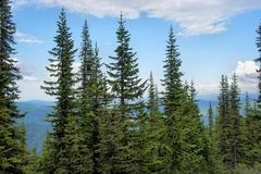 Picturesque alpine cedar taiga. Stock Photo
