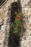 Picturesque architecture of a medieval house in France. Poppy flower on a wall of a medieval house stock images