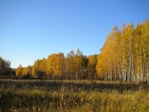 Blue bright sky, autumn, yellow trees, dried grass in the meadow royalty free stock image