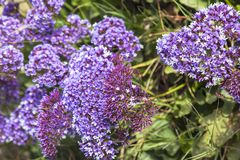 Picturesque background of purple flowers statice or kermek. Lat. Limonium stock image