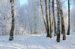 Picturesque Birch Grove In Hoarfrost, Winter Landscape Stock Image
