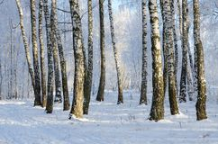 Picturesque Birch Grove In Hoarfrost, Winter Landscape Royalty Free Stock Photography