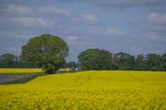 Picturesque canola field and tree near road under blue sky with white fluffy clouds. Wonderful image for wallpaper, agricultural and ecological concept Stock Photography