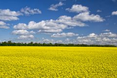 Picturesque canola field under blue sky with white fluffy clouds. Wonderful image for wallpaper, agricultural and ecological concept Stock Images