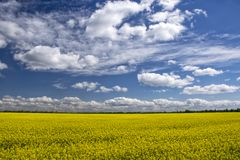 Picturesque canola field under blue sky with white fluffy clouds. Wonderful image for wallpaper, agricultural and ecological concept Stock Photo