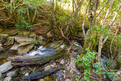 Picturesque cascade of water named Crater Falls with moss-covered trunk, Cradle mountain, Tasmania, Australia. Picturesque cascade of water named Crater Falls royalty free stock image