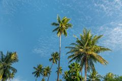 Picturesque coconut palm tree grove in tropical climate near equator on Togean islands near Sulawesi. Indonesia stock photography
