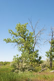 Picturesque Cottonwood Tree in a Wild Area Stock Photos