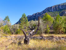 A picturesque dead tree in the mountains on a sunny day. Royalty Free Stock Image