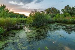 evening summer landscape. Beautiful view from the coast to the overgrown marshy pond Stock Photography