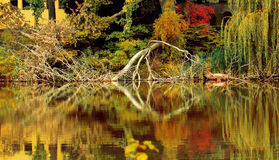Picturesque fallen tree in the lake. In autumn Stock Photos