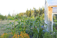 Picturesque farm garden with corn Stock Photography