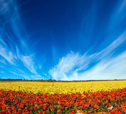 Picturesque field of blooming buttercups. Light cirrus clouds over the floral splendor. The concept of rural tourism. Picturesque huge field of blooming Stock Photo