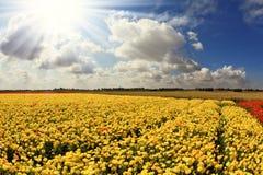 Picturesque field of ranunculus Stock Image