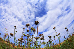 The picturesque field of thistles Stock Image