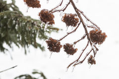 Picturesque fir branch covered with freezing rain Royalty Free Stock Photo
